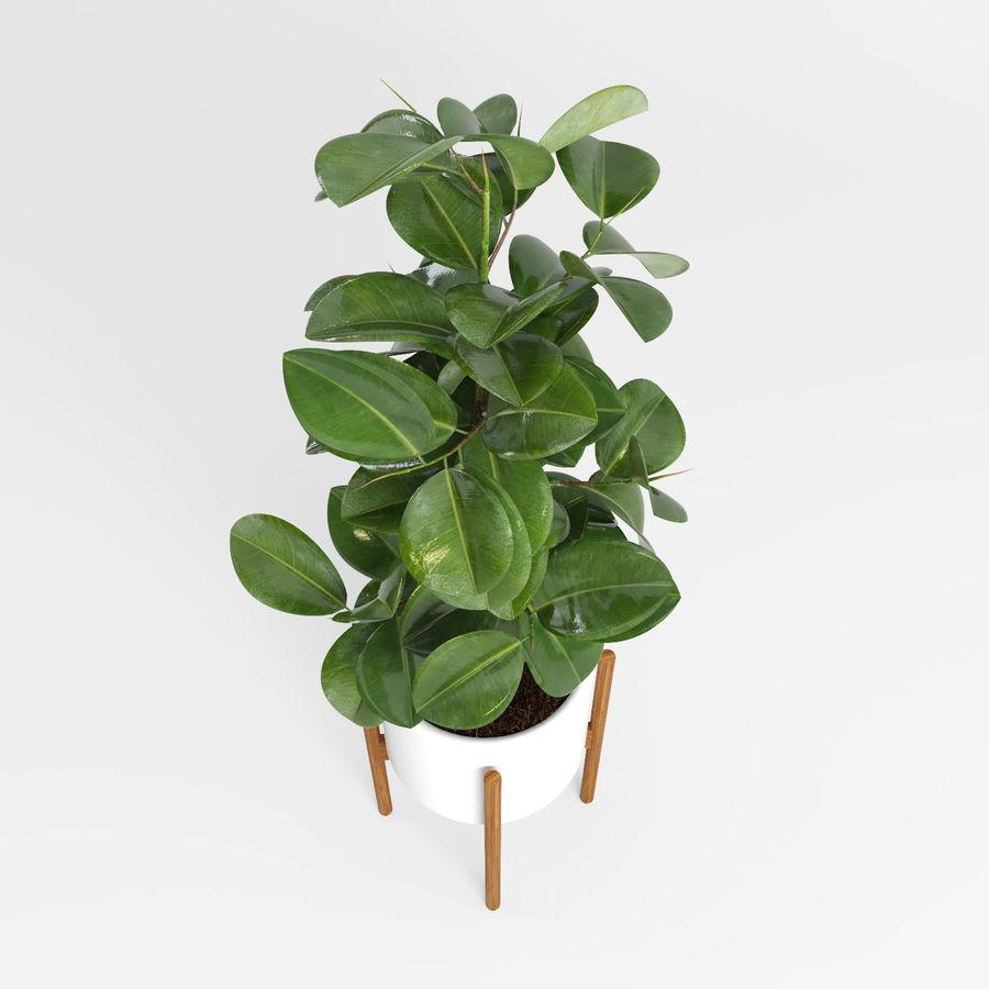 Árvores Ficus royalty-free 3d model - Preview no. 10