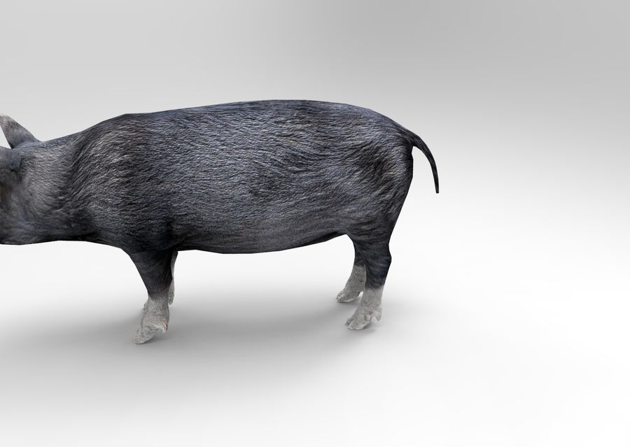pig royalty-free 3d model - Preview no. 8