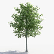 Linden Tree 3d model