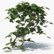 Ivy Plant (01) 3d model