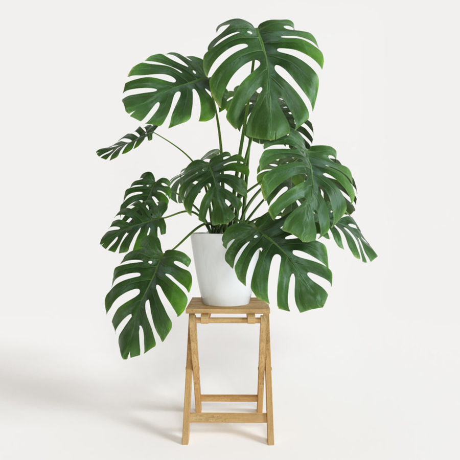 Monstera royalty-free modelo 3d - Preview no. 1