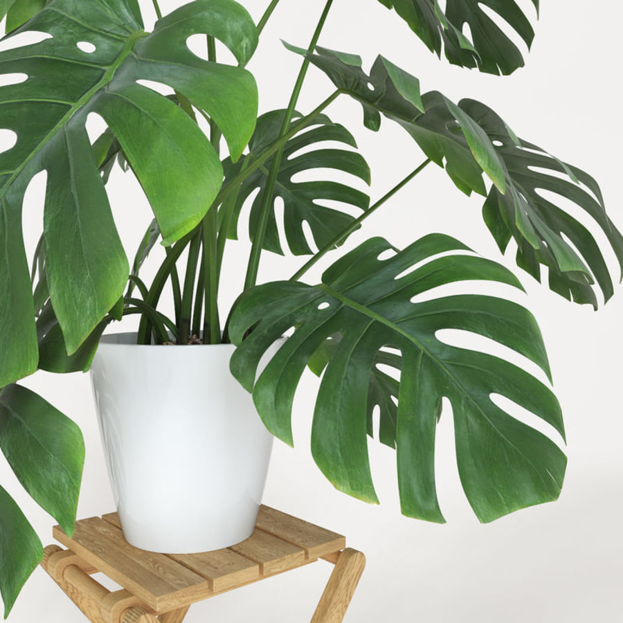 Monstera royalty-free modelo 3d - Preview no. 4