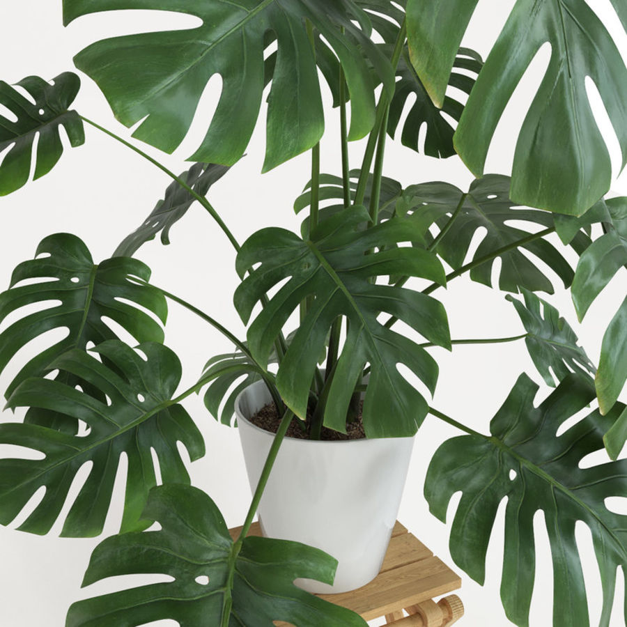 Monstera royalty-free modelo 3d - Preview no. 3