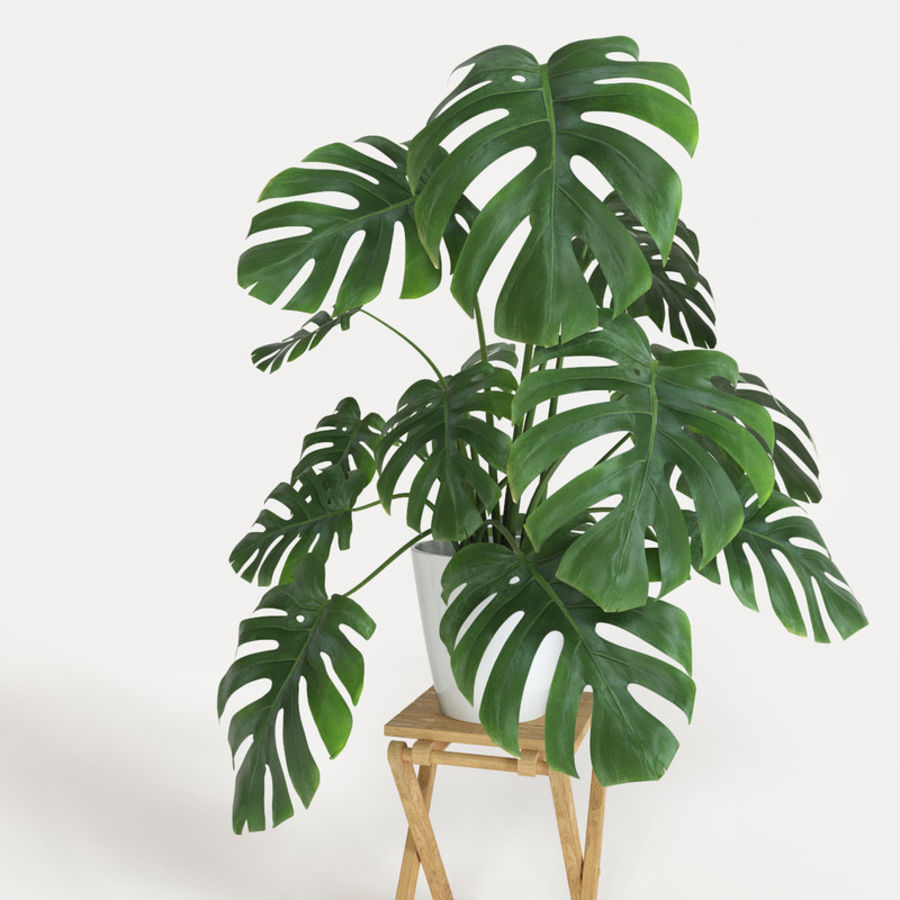 Monstera royalty-free 3d model - Preview no. 2