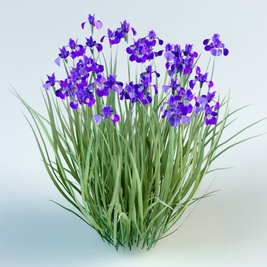 iris sibirica Siberian iris royalty-free 3d model - Preview no. 2
