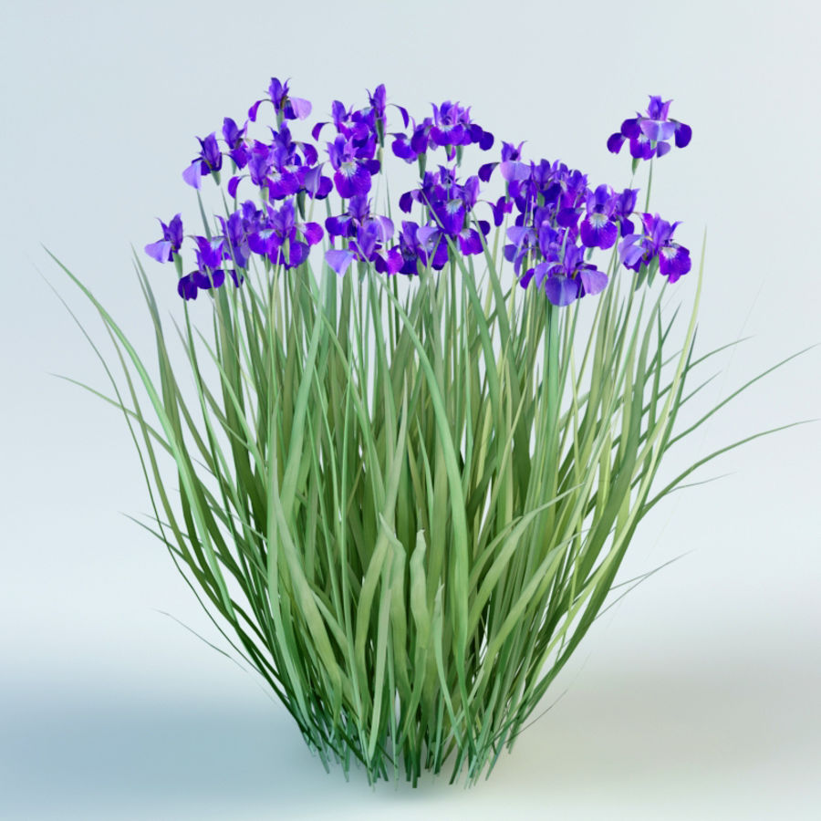 iris sibirica Siberian iris royalty-free 3d model - Preview no. 1