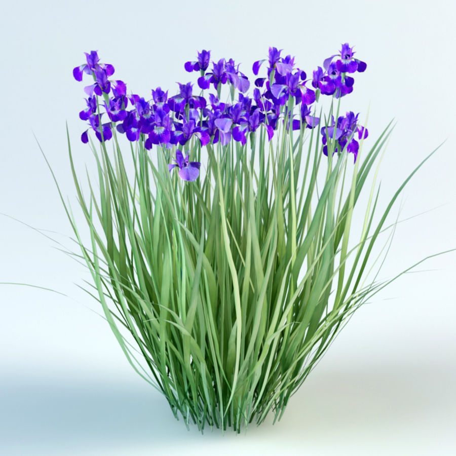 iris sibirica Siberian iris royalty-free 3d model - Preview no. 3