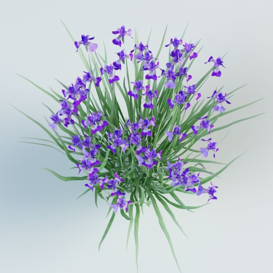 iris sibirica Siberian iris royalty-free 3d model - Preview no. 4