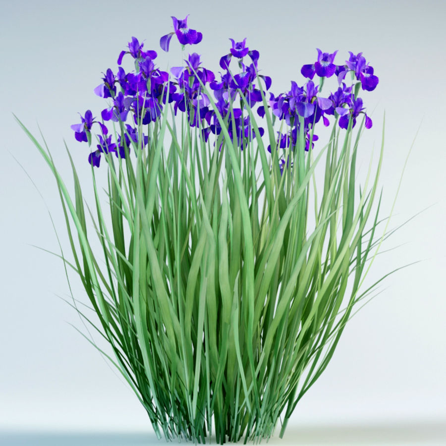 iris sibirica Siberian iris royalty-free 3d model - Preview no. 5