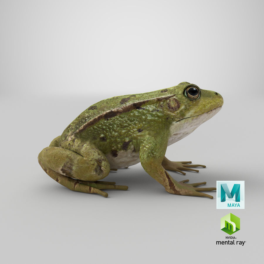 Frog royalty-free 3d model - Preview no. 13