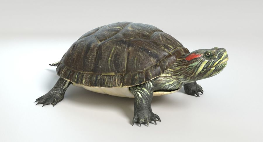 Turtle royalty-free 3d model - Preview no. 9