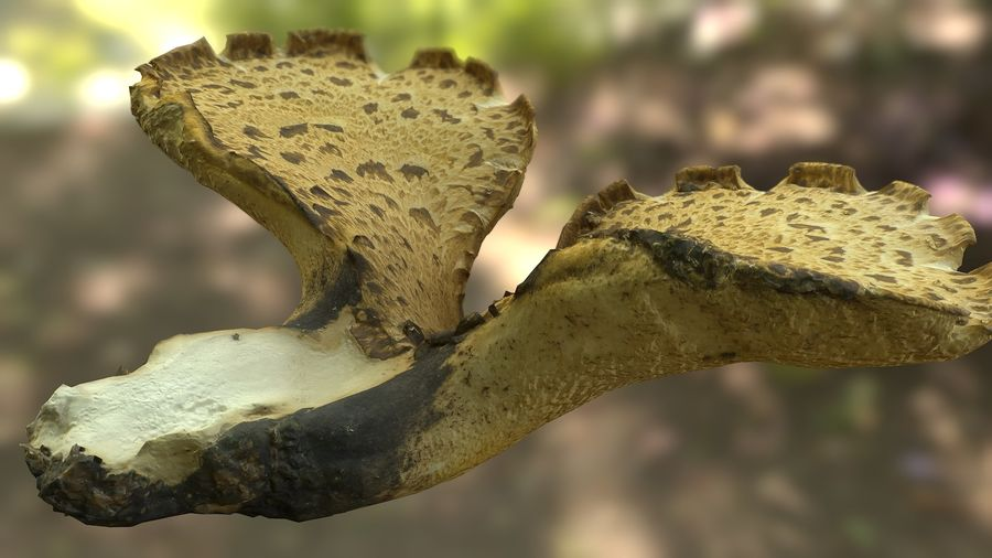 Grzyb Polypore 5 Lowpoly royalty-free 3d model - Preview no. 9