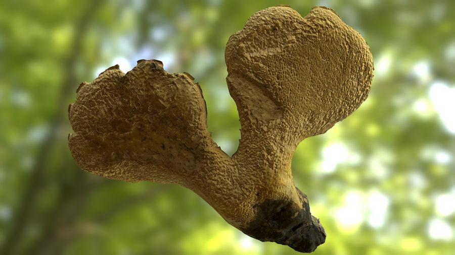 Grzyb Polypore 5 Lowpoly royalty-free 3d model - Preview no. 12