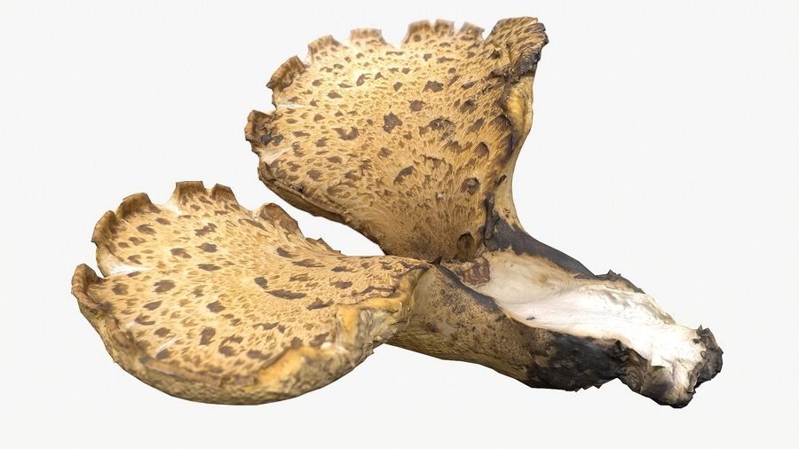 Grzyb Polypore 5 Lowpoly royalty-free 3d model - Preview no. 3