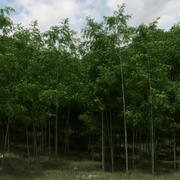 Bamboo Trees for scatter 3d model