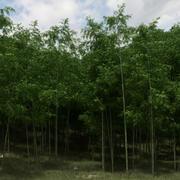 Árvores de bambu para dispersão 3d model