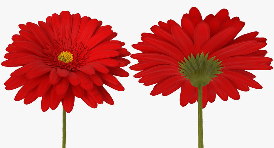 Red Gerbera Flower royalty-free 3d model - Preview no. 6