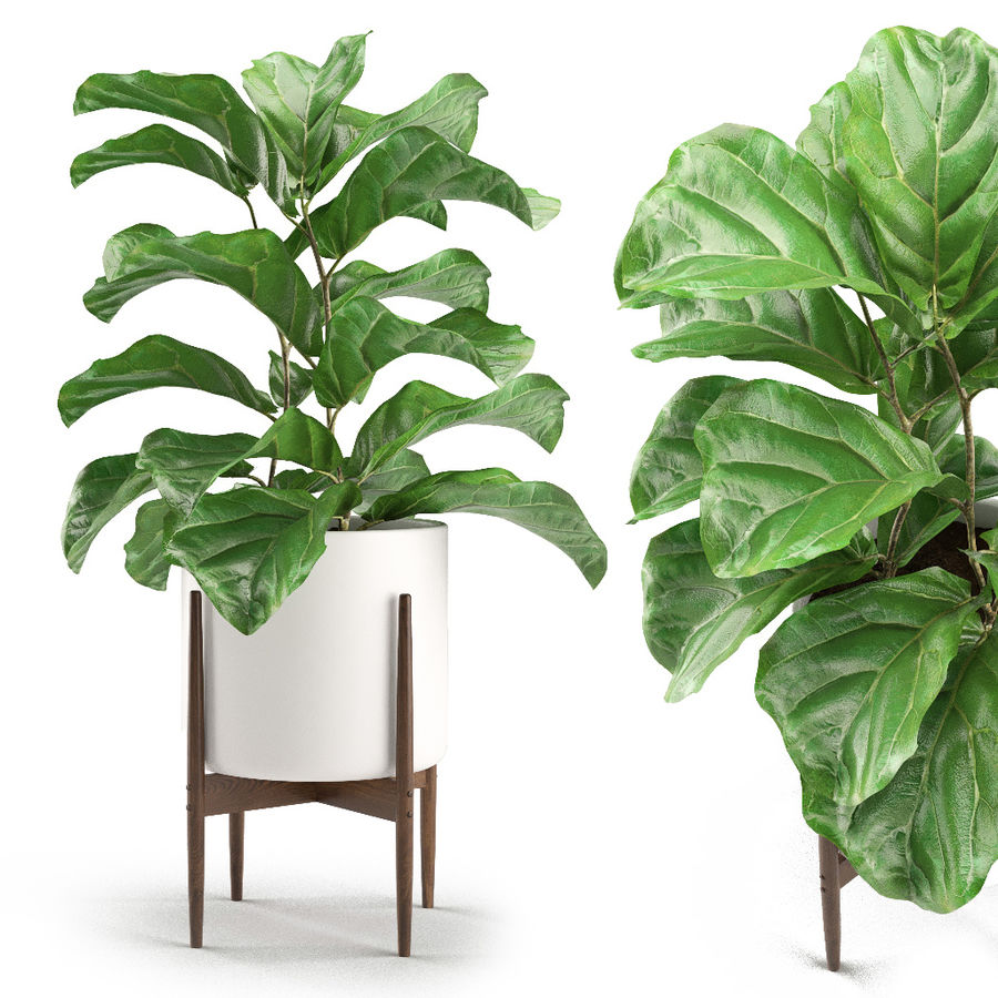 Plant 012 - Ficus Lyrata royalty-free 3d model - Preview no. 1