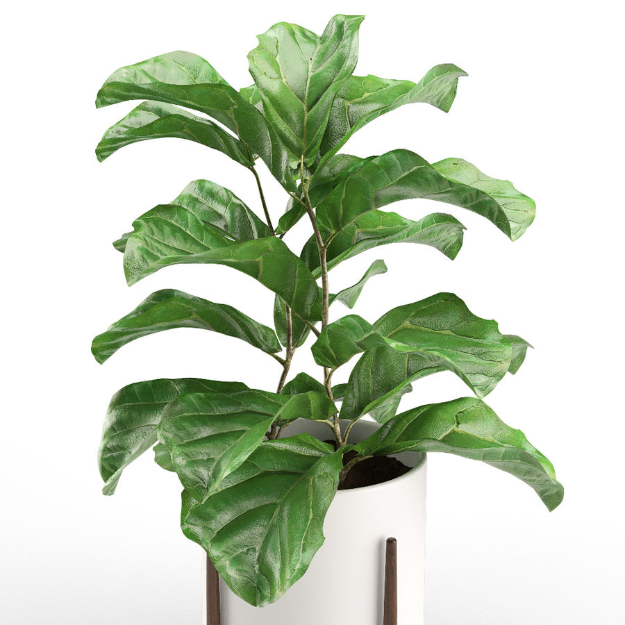Plant 012 - Ficus Lyrata royalty-free 3d model - Preview no. 2