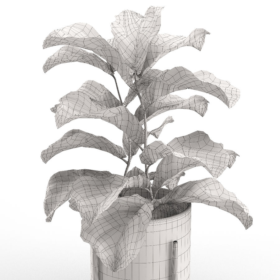 Plant 012 - Ficus Lyrata royalty-free 3d model - Preview no. 5