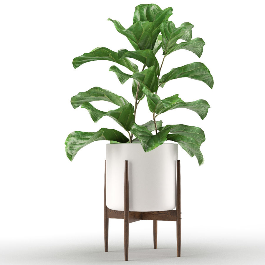 Plant 012 - Ficus Lyrata royalty-free 3d model - Preview no. 4
