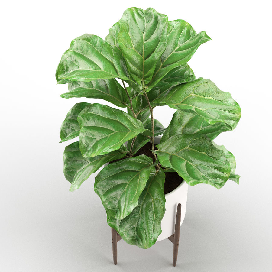 Plant 012 - Ficus Lyrata royalty-free 3d model - Preview no. 3