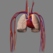 Cardio Pulminary System.lwo 3d model
