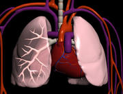 Cardiopulminary System.3ds 3d model