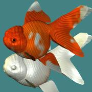 Oranda (pesce rosso) 3d model