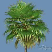 Loulu Fan Palm 3d model