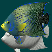 Blue angelfish 3d model