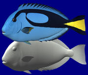 Blue Tang(Palette surgeonfish) 3d model