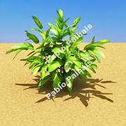 Alpinia zerumbet 3d model