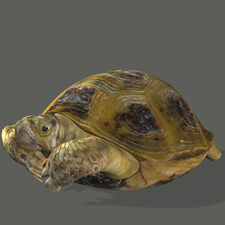 Turtle_for_poser royalty-free modelo 3d - Preview no. 5