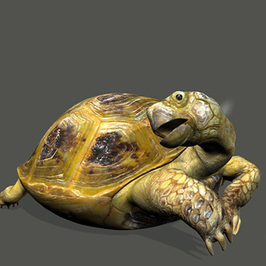 Turtle_for_poser royalty-free modelo 3d - Preview no. 7