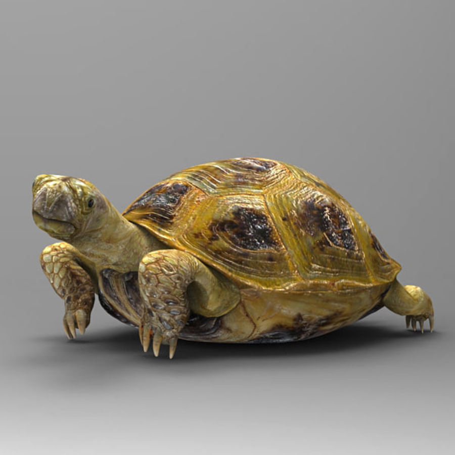 Turtle_for_poser royalty-free modelo 3d - Preview no. 3