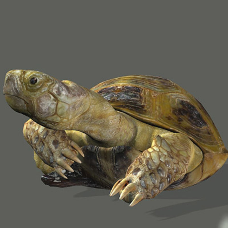 Turtle_for_poser royalty-free modelo 3d - Preview no. 6