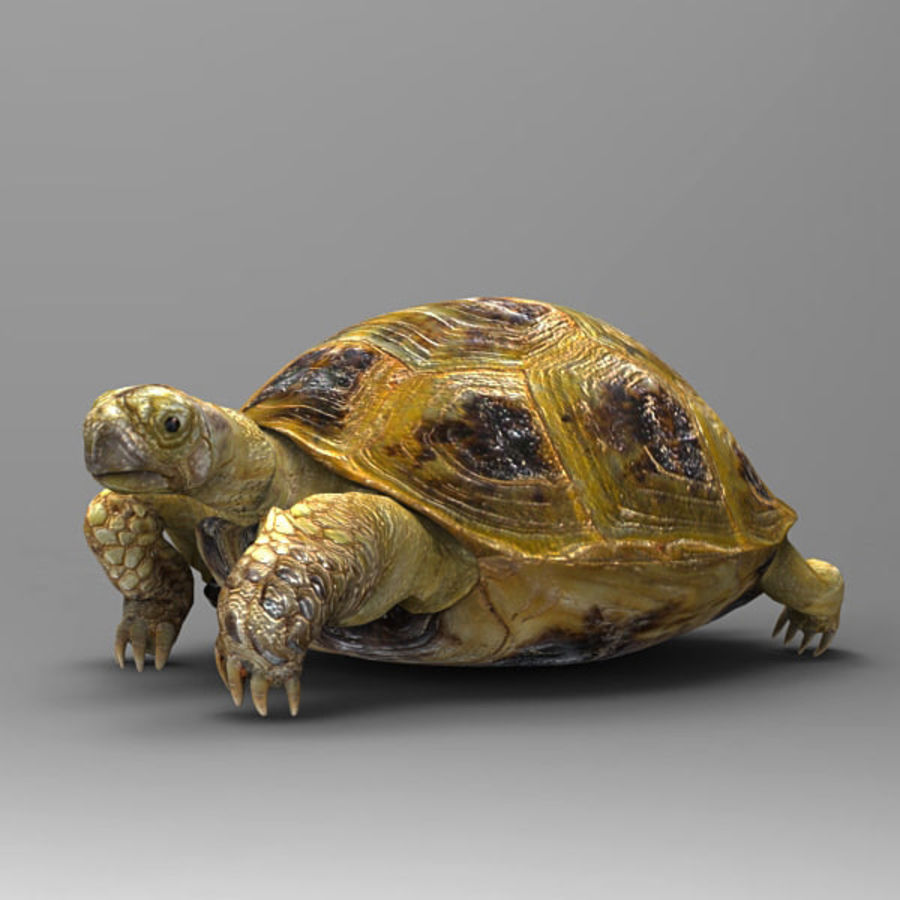 Turtle_for_poser royalty-free modelo 3d - Preview no. 4