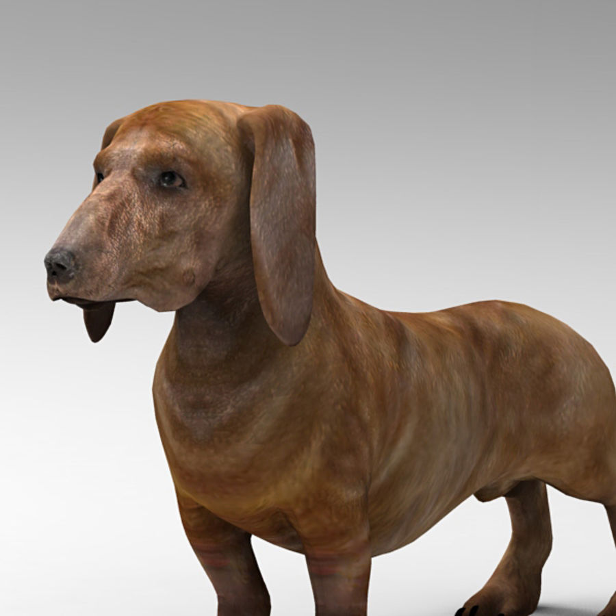 Köpek Dachshund royalty-free 3d model - Preview no. 5