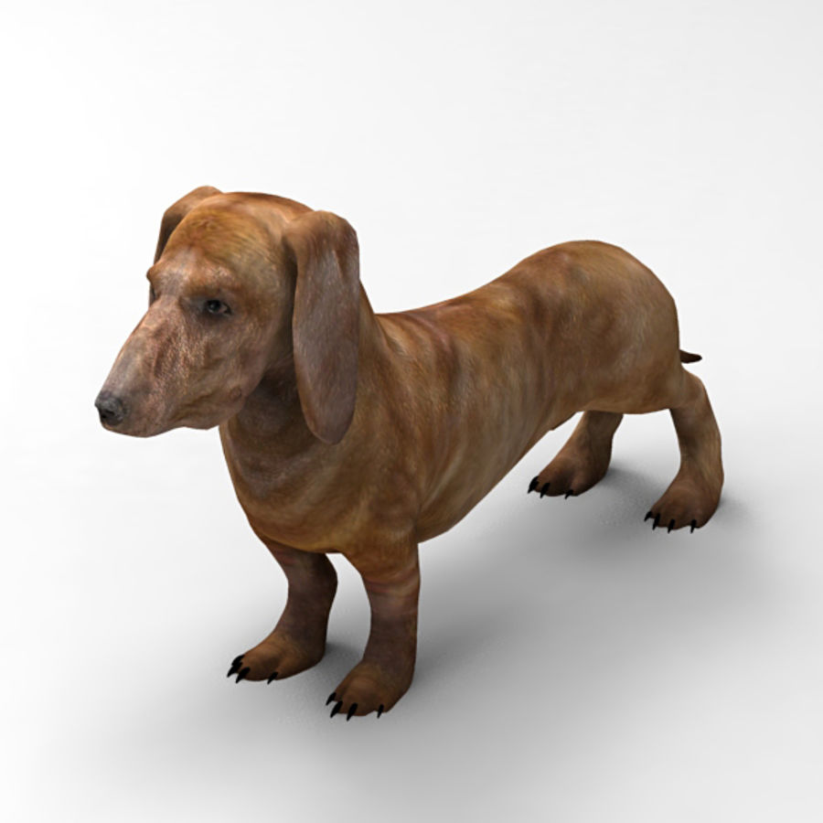 Köpek Dachshund royalty-free 3d model - Preview no. 4