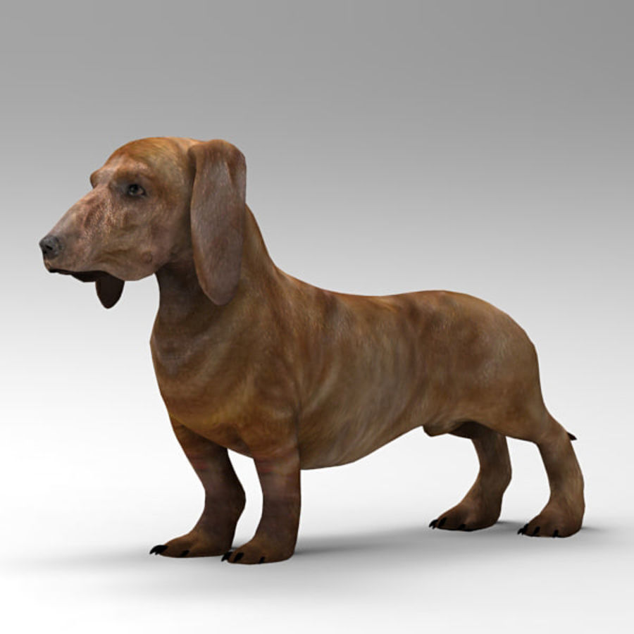 Köpek Dachshund royalty-free 3d model - Preview no. 1