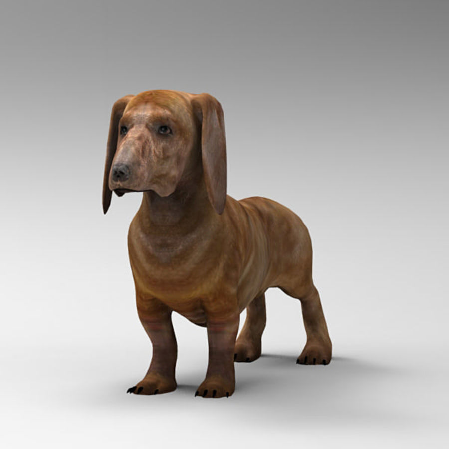 Köpek Dachshund royalty-free 3d model - Preview no. 2