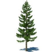 Pine Tree A 3d model