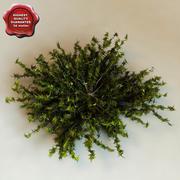 Juniperus Virginiana 'Silver Spreader' 3d model