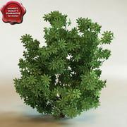 3d model of shrub Schefflera arboricola 'Trinette' 3d model