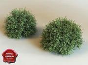 3d model of shrub Ilex Crenata 3d model