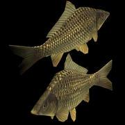 Karpfen (Süßwasserfisch) 3d model