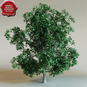 Calophyllum antillanum 3d model