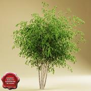 강 자작 나무 V2 3d model
