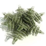 Athyrium niponicum (Pictum) 3d model